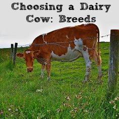 Choosing a Dairy Cow: Breeds | The Well Fed Homestead - Info on several different breeds to help with choosing a breed best suited to the purposes