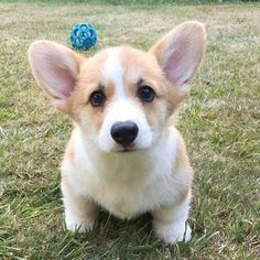 This is a list of some of the cutest Corgi photos. You can add your own special Corgi photos to the list, and you can vote for your favorite pictures of Corgis. Cute Corgi Puppy, Corgi Funny, Corgi Dog, Cute Puppies, Cute Dogs, Dogs And Puppies, Doggies, Teacup Puppies, Cute Funny Animals