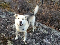 Bart is a rescue dog from Fort Simpson. He is a friendly guy with lots of love to give. He is around three years old. He loves to walk with you and really likes cuddles from our volunteers. He just wants to be loved. Set up a meeting to meet Bart as...