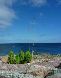Dandelion and wild beach onion with a view Onion, Dandelion, Holidays, World, Beach, Plants, Holidays Events, The Beach, Dandelions