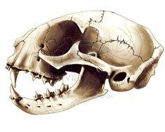 cat skull anatomical illustration - Google Search