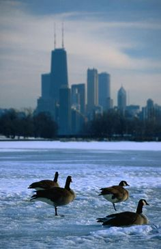 Four Canada geese (Branta canadensis), Chicago,  on frozen lagoon with North Loop skyline in background.  Charles Cook Lonely Planet Photographer