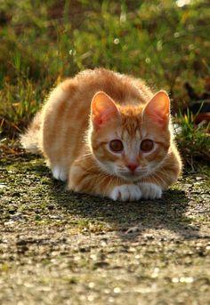 "picolaine-chats: "" ♥♥ Chaton Mackerel tabby ♥♥ Image gratuite sur Pixabay / Rihaij_Px ** ♥ http://picolaine-chats.tumblr.com/ """