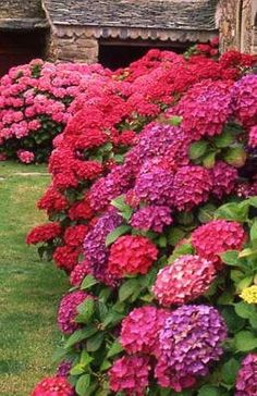 #Hydrangeas in Spring & Summer- I love all the colors..My Mom used to grow them #pinks #purples #garden