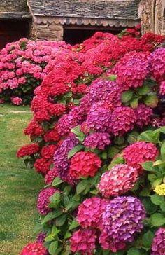 Change the colour of Hydrangeas