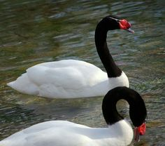 Cisne do Pescoço Preto (a Brazilian swan)