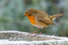 Cold Robin by MartinAndrewEagle #animals #animal #pet #pets #animales #animallovers #photooftheday #amazing #picoftheday