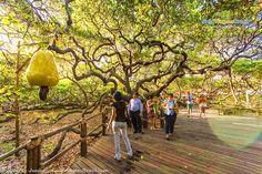 O maior cajueiro do mundo, também conhecido como cajueiro de Pirangi, é uma árvore gigante localizada na praia de Pirangi do Norte no município de Parnamirim, a doze quilômetros ao sul de Natal, capital do estado brasileiro do Rio Grande do Norte.