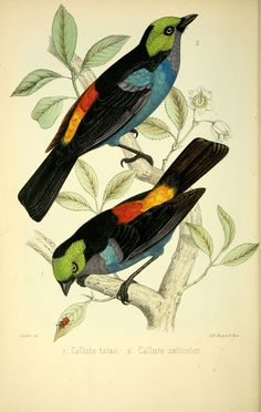 - A monograph of the birds forming the tanagrine genus Calliste : - Biodiversity Heritage Library Nature Illustration, Botanical Illustration, Vintage Bird Illustration, Nature Artists, Art Clipart, Vintage Birds, Bird Prints, Botanical Prints, Bird Art