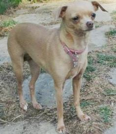 Lost Dog - Female - Allen, TX, USA 75002