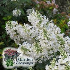 Inspired™ White Buddleia x 'ILVOargus01' (Butterfly Bush) Crisp white flowers, amazingly huge blooms, and great butterfly attracting plant.