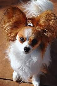 The Papillon dog so cutest and adorable, also called the Continental Toy Spaniel, is a breed of dog of the Spaniel type. One of the smallest dog in the world.