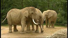 Ieder jaar moet olifant Rosi gewogen worden, om te kijken of ze zwaarder geworden is.