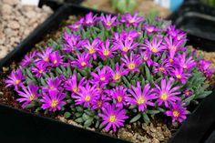 Ice-plant: Delosperma sphalmantoides [Family: Aizoaceae] - Flickr - Photo Sharing!