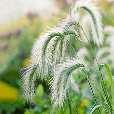 Add style and privacy to your yard with these beautiful ornamental grasses that provide color and texture to your outdoor space and food to birds. Our planting guide will help you choose the right zone and space to plant these grasses and will tell you what colors to expect from your plants (reds, blues, whites, and greens!)