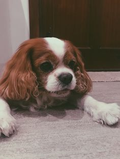 Spaniels, Dogs, Animals, Animales, Animaux, Pet Dogs, Doggies, Animal, Animais