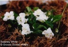 Swanley White Violet £3.50