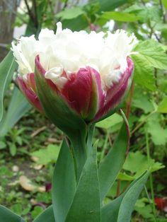 .Ice Cream Tulip    <3