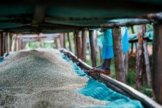 At Long Miles, coffee usually dries on tables for 20 to 25 days, until the beans reach an 11.5 % moisture content.