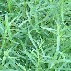 Tarragon (Artemisa dracunculus)