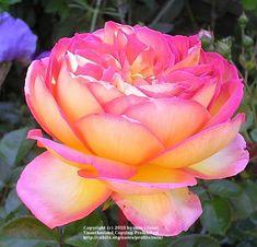 Hybrid Tea Roses Tea Roses And Teas On Pinterest