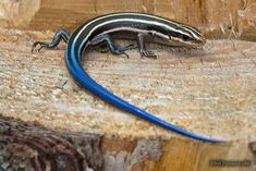 Image result for lizards in maryland