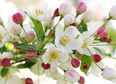 Brabourne Farm: Love .... Crab Apple Blossoms