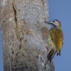 Colaptes Rubiginosus Golden-olive Woodpecker Carpintero Cariblanco
