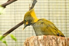 Yellow Woodpecker. Snippets from Springdale: The Zoo Story
