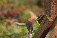 Roodborstje Robin