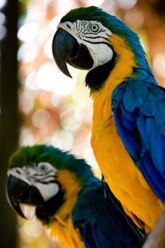 #Macaws #Parrots
