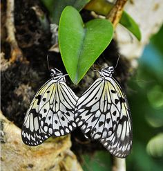 heart butterfly - never seen a butterfly like this!