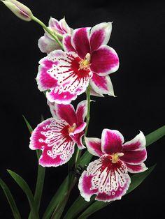 Gorgeous Orchids! Miltoniopsis Martin Orenstein 'Shirley P' (Eros x Violet)