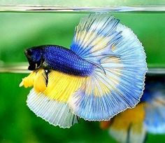 Live Betta Fish IMPORTED RARE TRI-Band 3x BUTTERFLY Over-Halfmoon Male: Awesome Betta Fish Tank, Beta Fish, Freshwater Aquarium, Aquarium Fish, Fish Varieties, Baby Sea Turtles, Sea Plants, Cool Fish, Siamese Fighting Fish