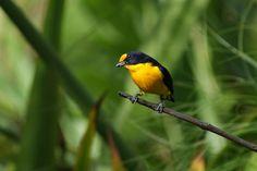 Foto gaturamo-verdadeiro (Euphonia violacea) por Ivan Angelo | Wiki Aves - A Enciclopédia das Aves do Brasil