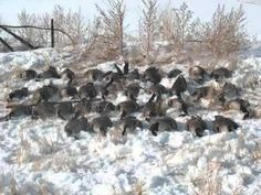goose hunting pictures