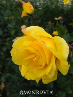 Golden Showers Climbing Rose - A popular yellow climbing rose with bright yellow-gold flowers that fade to a creamy white and honey-like fragrance. Repeat bloomer that is sure to brighten any fence or trellis. Clip spent flowers for a neat appearance and encourages continued blooms.