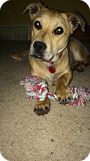Genoa City, WI - Labrador Retriever/Corgi Mix. Meet Effie- Mini Lab, a dog for adoption. http://www.adoptapet.com/pet/12744351-genoa-city-wisconsin-labrador-retriever-mix