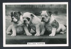Bulldog Puppies from series Dogs by Senior Service Cigarettes card #41