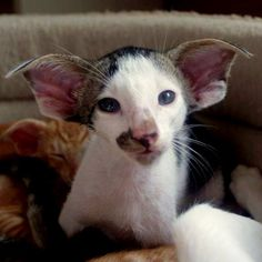 Pretty Cats, Beautiful Cats, Siamese Cats, Cats And Kittens, Oriental Shorthair Kittens, Dobby Cat, Oriental Cat Breeds, Exotic Cats, Owning A Cat