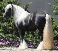 Silver Fox Gypsy Vanner Horses