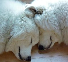 Love my Great Pyrenees! They are the sweetest dogs ever! And they love each other and stick together.