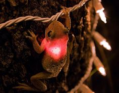 Frog eating Fairy Lights...