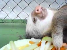 Bicho preguiça comendo