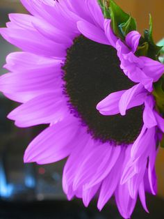 Purple sunflower