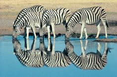 So, How Did the Zebra Really Get His Stripes?