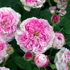 Gallica Rose: Rosa 'Aimable Amie' (France or Netherlands, before 1818)