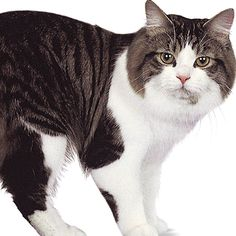 Gato Manx, Manx Cat, Manx Kittens For Sale, Cats And Kittens, Serval, Scottish Fold, Popular Cat Breeds, Cymric, Gato Grande