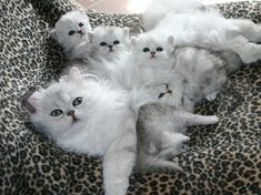 Plush Cats And Kittens Bulk Mother Cat And Kittens On Slide Baby Kittens, Cute Cats And Kittens, Kittens Cutest, Turkish Angora Cat, Angora Cats, Funny Cats, Funny Animals, Cute Animals, Bb Chat