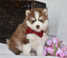 #Cute and ready for Life's Adventures!! 🐾🤩💙This #Sweet #Pomsky puppy is named Brownie, she is lovingly raised and absolutely loves to play. So playdates at the park will be a highlight for her. #Charming #PinterestPuppies #PuppiesOfPinterest #Puppy #Puppies #Pups #Pup #Funloving #Sweet #PuppyLove #Cute #Cuddly #Adorable #ForTheLoveOfADog #MansBestFriend #Animals #Dog #Pet #Pets #ChildrenFriendly #PuppyandChildren #ChildandPuppy #BuckeyePuppies www.BuckeyePuppies.com Pomsky Puppies, Lancaster Puppies, Animals Dog, Fun Loving, Life Is An Adventure, Puppies For Sale, Mans Best Friend, Puppy Love, Highlight